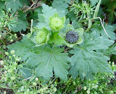 Modiola wwwfireflyforestcomimageswildflowersplantsMo