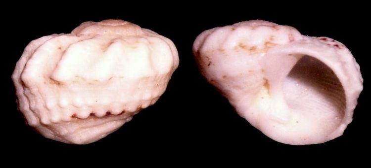 Modulus (gastropod)