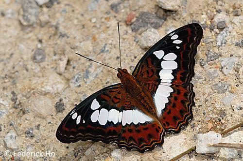 Moduza procris ButterflyCircle Checklist