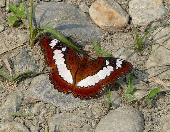 Moduza procris wwwlearnaboutbutterfliescommoduza20procris20G