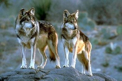 Mogollon mountain wolf httpssmediacacheak0pinimgcom736x260164
