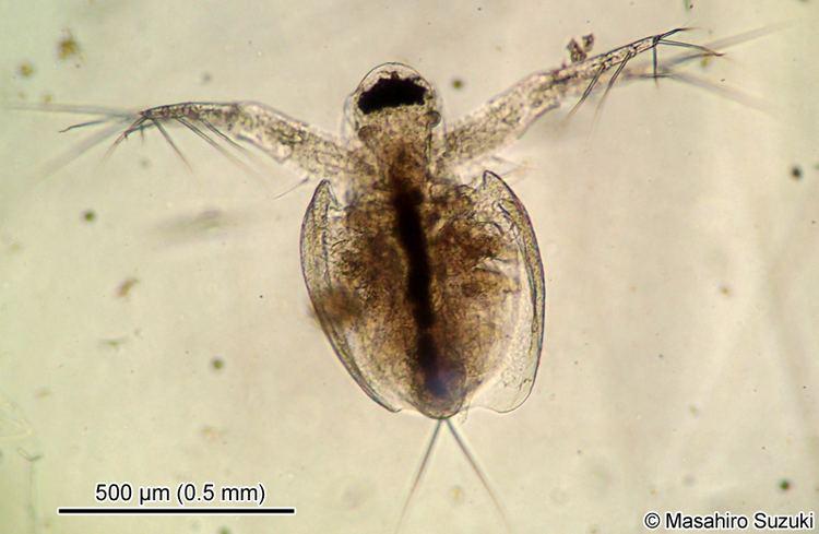 Moinidae naturalhistorymainjpTreeoflifeEukaryoteOpi