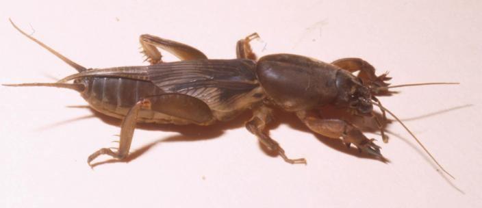 Mole cricket Mole Crickets Western Australian Museum
