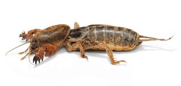 Mole cricket httpsuploadwikimediaorgwikipediacommons99