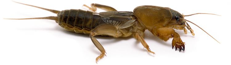 Mole cricket Northern Mole Cricket Songs of Insects