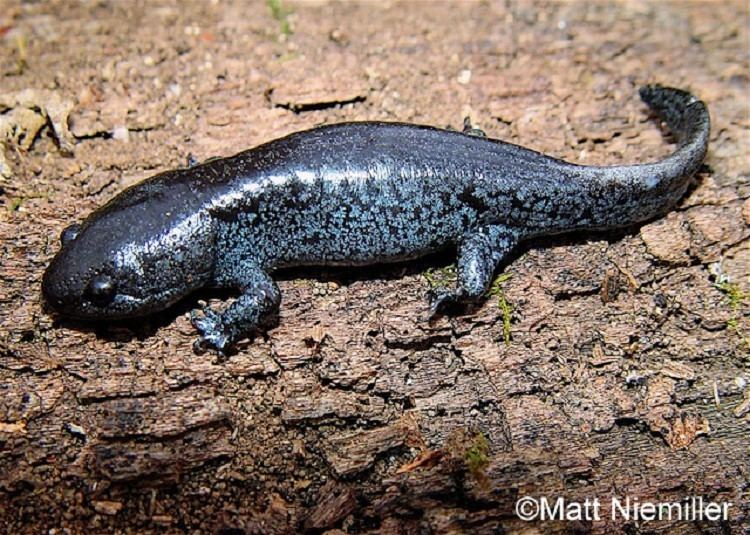 Mole salamander Tennessee Watchable Wildlife Mole Salamander