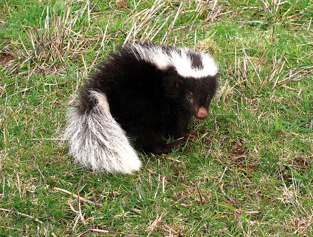 Molina's hog-nosed skunk httpsuploadwikimediaorgwikipediacommons55
