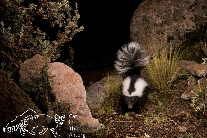Molina's hog-nosed skunk leopardus jacobita Archives International Society for Endangered