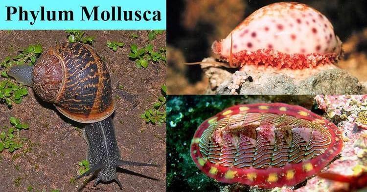 Mollusca Mollusca