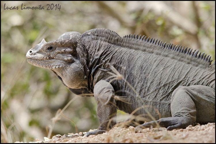 Mona ground iguana Mona ground iguana Cyclura cornuta stejnegeri Iguana de Flickr