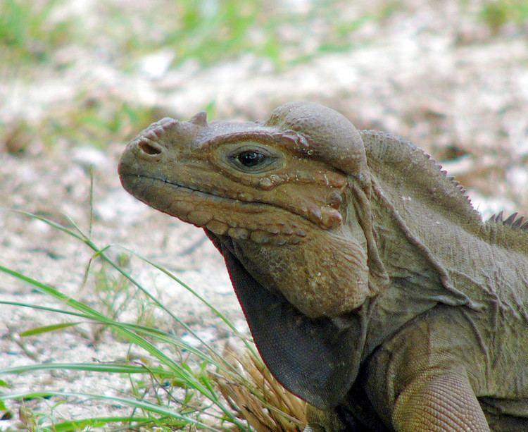 Mona ground iguana Mona Ground Iguana Iguana de Mona Scientific name Cyclu Flickr