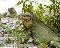 Mona ground iguana httpsuploadwikimediaorgwikipediacommonsthu
