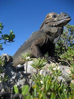 Mona ground iguana Mona ground iguana Wikipedia