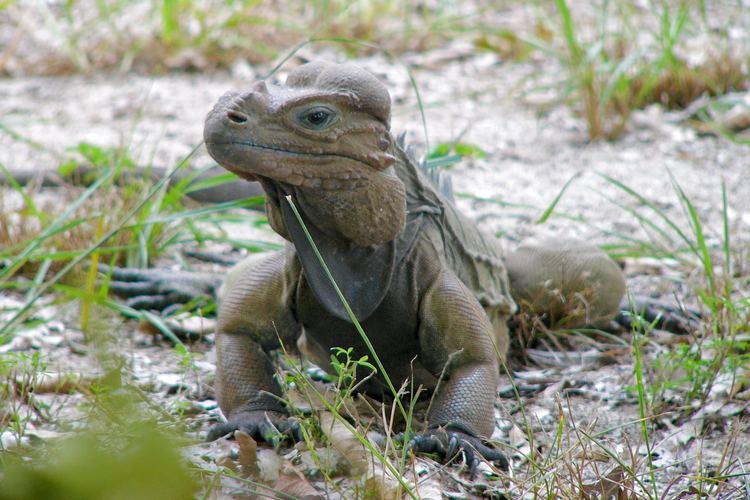 Mona ground iguana FileMona Ground Iguana Iguana de Mona 5840462612jpg Wikimedia