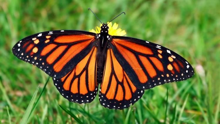 Monarch butterfly Monarch Butterfly
