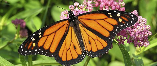Monarch butterfly wwwnfwforgmonarchPublishingImagesmonarch1jpg