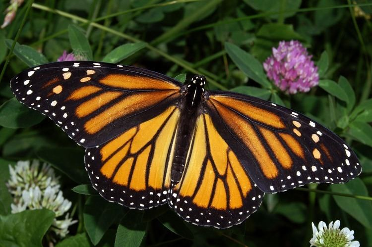 Monarch butterfly Monarch butterfly Wikipedia
