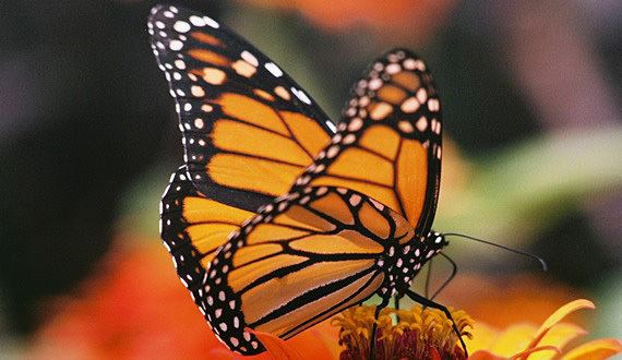 Monarch butterfly butterfly