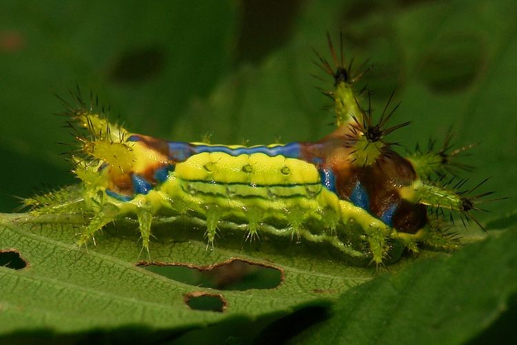 Monema flavescens Oriental Moth Stinging Nettle Slug Caterpillar Cnidocampa Flickr
