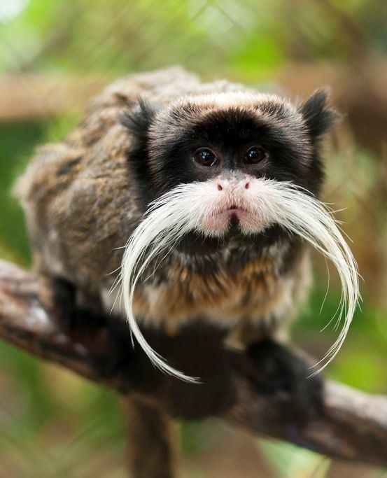 Monkey 1000 ideas about Monkeys on Pinterest Baby chimpanzee Monkeys