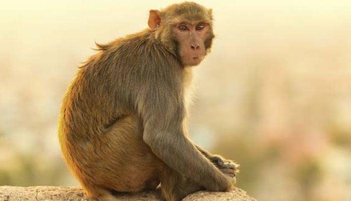 Monkey monkey Latest News on monkey Read Breaking News on Zee News