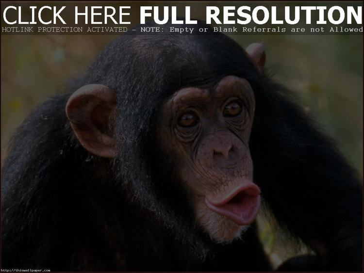 Monkey Funny Monkey HD wallpapers THIS Wallpaper