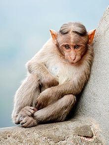 Monkey Monkey Wikipedia