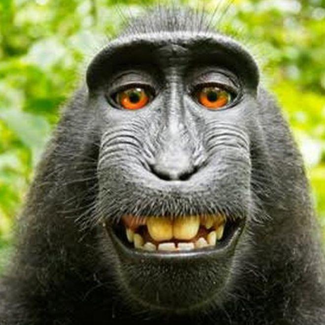 Monkey Monkey selfie is mine UK photographer argues BBC News