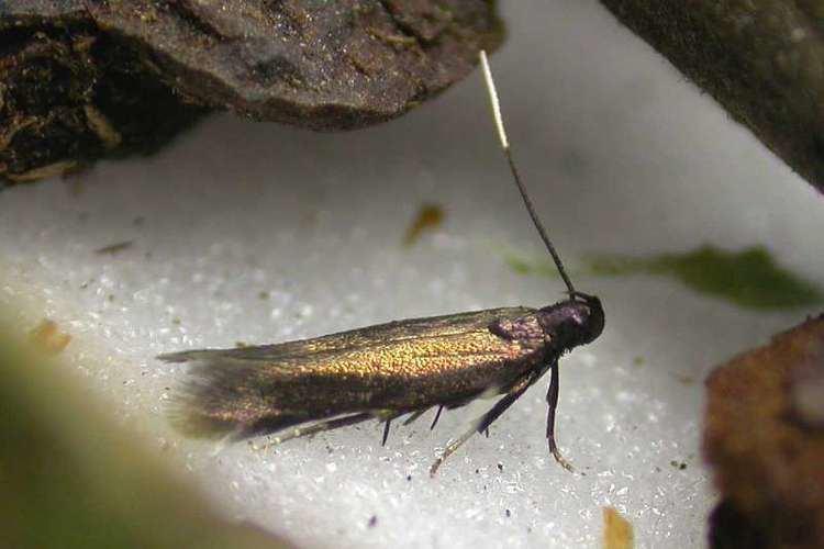 Monochroa Bestimmungshilfe des Lepiforums Monochroa Tenebrella