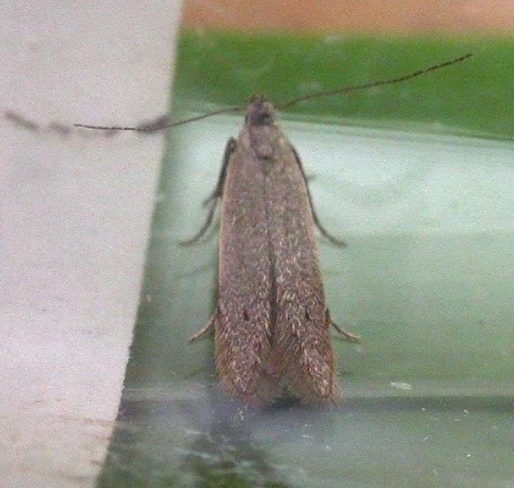 Monochroa Monochroa moyses UKMoths