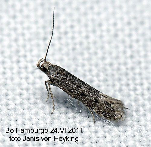 Monochroa Monochroa tetragonella Insecta Lepidoptera Gelechiidae