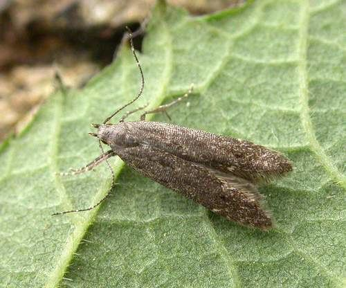 Monochroa The Moths of Suffolk 740 Monochroa hornigi Staudinger 1883