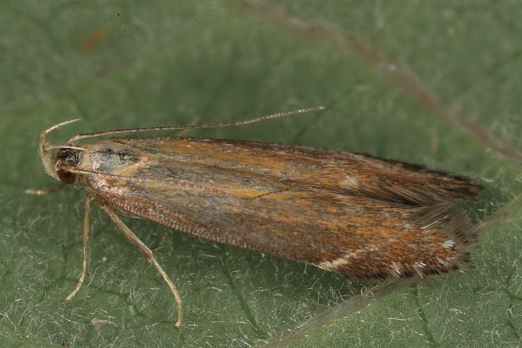 Monochroa Bestimmungshilfe des Lepiforums Monochroa Cytisella