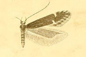 Monochroa scutatella