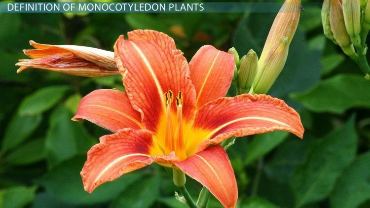 Monocotyledon Monocotyledon Plants Examples Definition amp Pictures Video