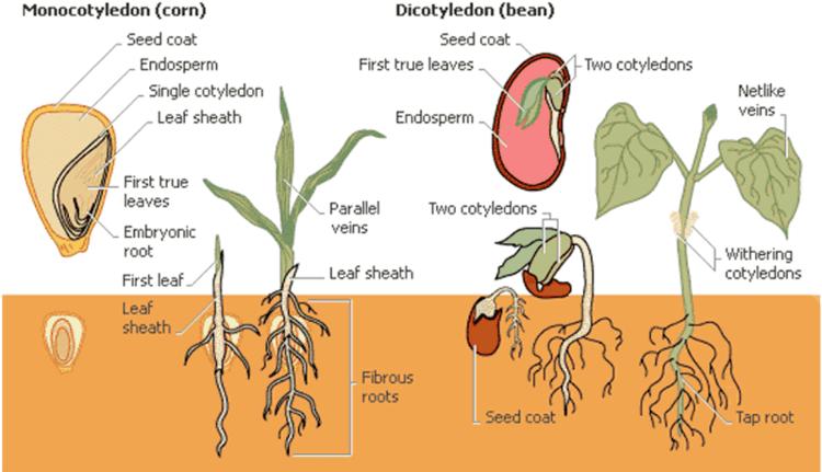 Monocotyledon Flowering plants monocots and dicots monocotyledon and dicotyledon