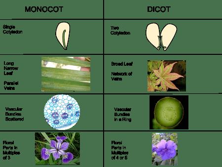 Monocotyledon httpsuploadwikimediaorgwikipediacommonsthu