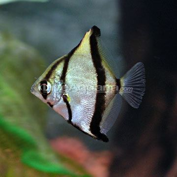 Monodactylus sebae Tropical Fish for Brackish Aquariums Mono Sebae