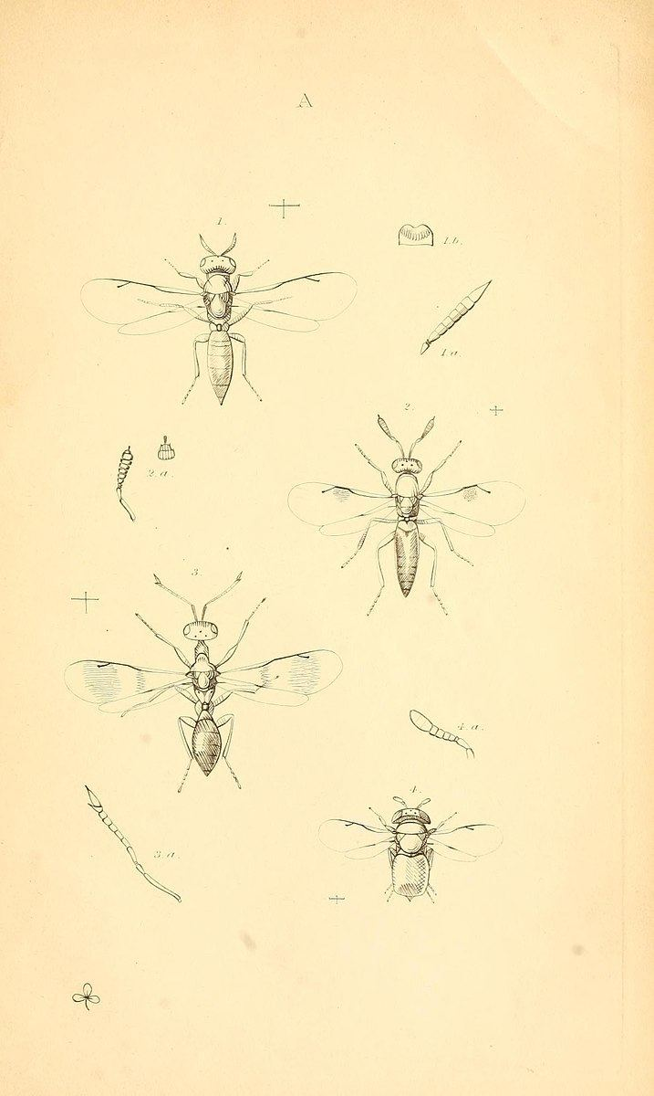 Monographia Chalciditum