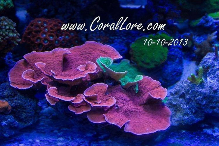 Montipora Montipora Capricornis Corallorecom