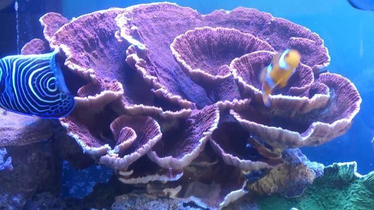 Montipora Marine reef montipora sps aquarium YouTube