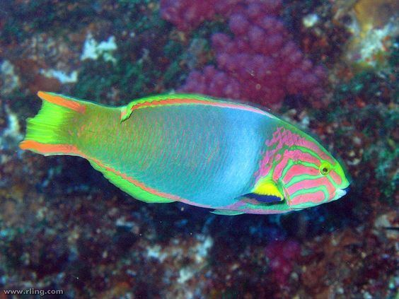 Moon wrasse Green Moon Wrasse Thalassoma lutescens The Wild amp Colorful Sea