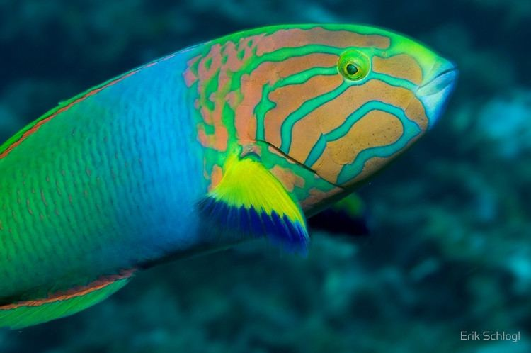 Moon wrasse Green Moon Wrassequot by Erik Schlogl Redbubble