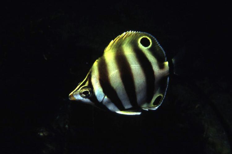 Moonlighter (fish) fishesofaustralianetauImagesImageTilodonSexfa