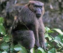 Moor macaque httpsuploadwikimediaorgwikipediacommonsthu