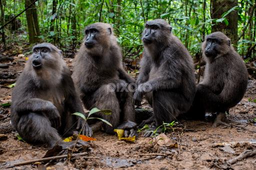 Moor macaque DareMoor Macaque Macaca maura Other Mammals Animals Pixoto