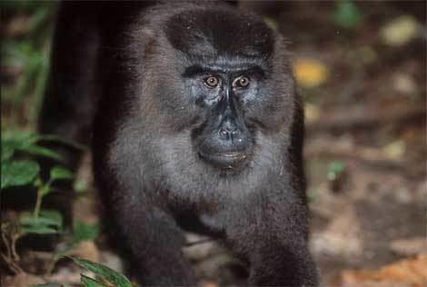 Moor macaque mmacaque4
