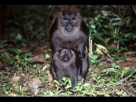 Moor macaque Moor Macaque Macaca maura YouTube