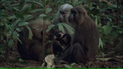 Moor macaque Moor Macaque Eating Sulawesi HD Stock Video 291840125