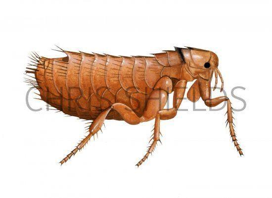 Moorhen flea httpswwwillustratedwildlifecomfilesMoorhen